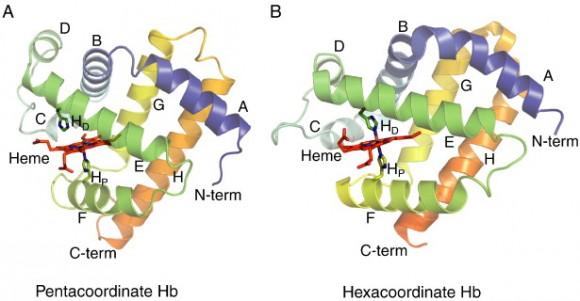 hemoglobina2