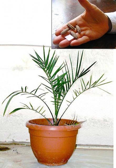 1 matusalen-palmera