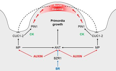 Fig. 2.  Modelo del inicio de la formación de los óvulos.