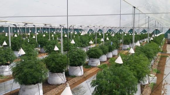 Plantación legal de cannabis medicinal en Chile