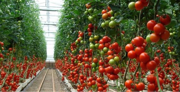especialistas-tomate