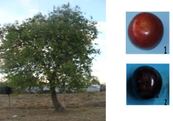 Chawcha Cherry (Chawcha capulí Prunus serótina Ehrh)
