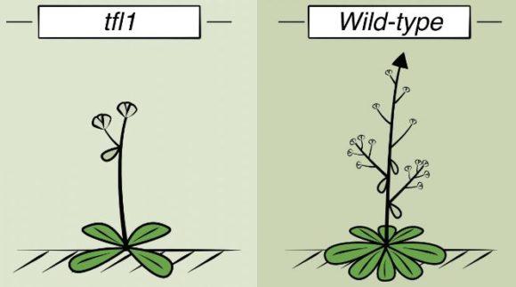 TFL1 y una primavera sin flores